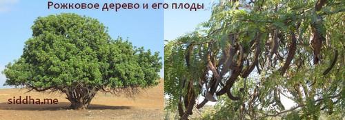 Рожковое дерево и плоды кэроба