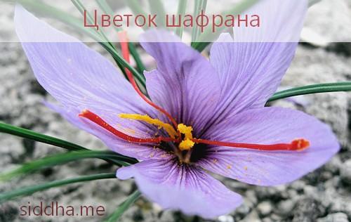 Шафран, цветок